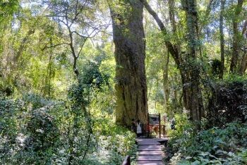 A Yellowwood Tree in Hoekville, South Africa