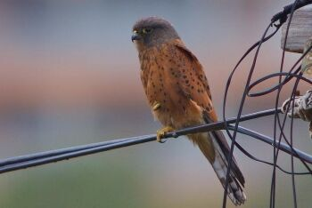 Rock Kestrel, Dana Bay, Garden Route, Western Cape